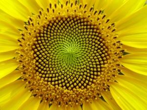 Sunflower (flickr.com/photos/lucaspost/)