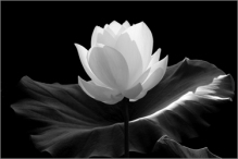 Lotus Flower (lotusflowerimages.com/)